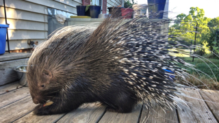 Have you seen this missing porcupine?