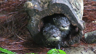 NC Zoo working to save orphaned otter pups