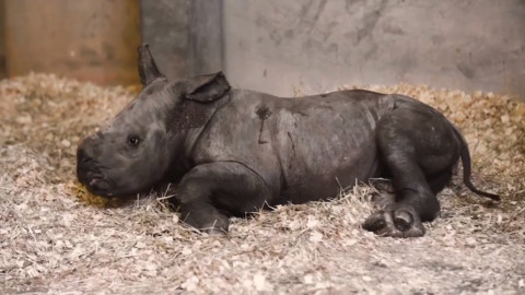 Baby's got big feet. NC Zoo names 2-month-old rhinoceros