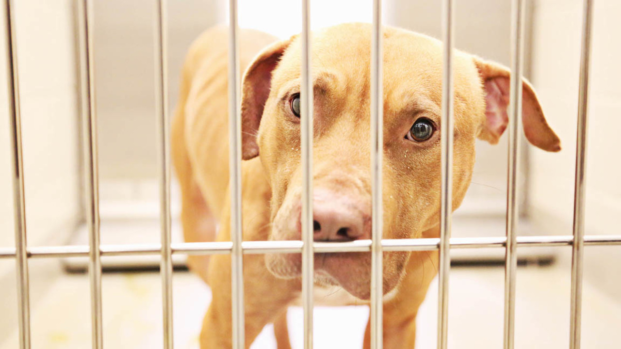 Aspca And Orange County North Carolina Work To Adopt Pit Bulls In Dogfighting Case Raleigh