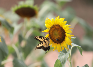 'Endless beauty': Sunflower fields in bloom in York County. Here's where to see them.