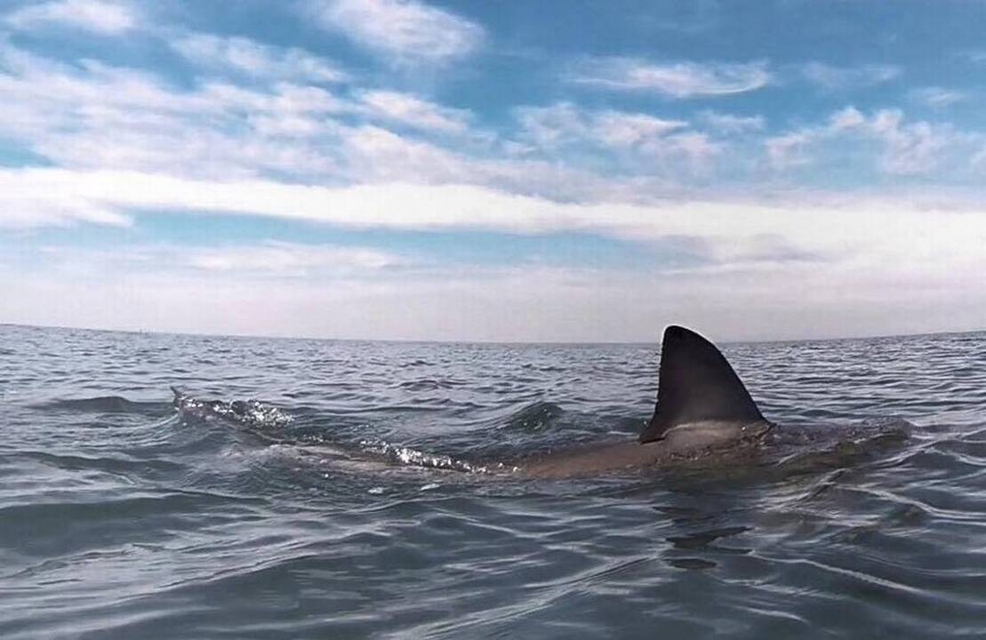 lab report on shark The demand for shark fin is so high, sharks have been overfished worldwide in fact, some of our studies have shown that up to 73 million sharks a year are being killed, just to supply the demands of the shark fin trade.