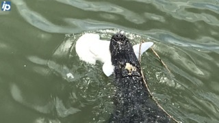 This gator was spotted eating a shark — and frequents a Hilton Head saltwater creek