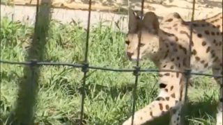Toby the lost serval cat is back home in Hardeeville and continues to recover
