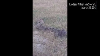 Check out this 6-foot long rattlesnake spotted in a Florida field