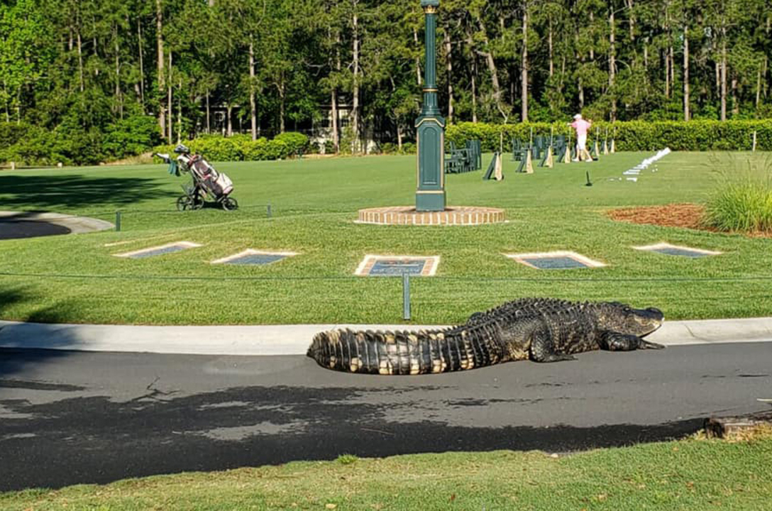 Giant alligator was taking a stroll when Hilton Head golf course got 'in the way'
