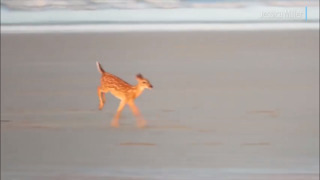 'Mom! Wait for me!' Watch this adorable fawn follow its mom across Fripp Island beach