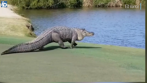 'It was surreal': Massive 9-foot gator stuns Savannah golfers, plops down near 17th hole