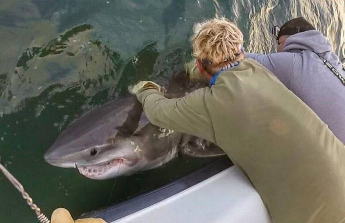 11-foot Hilton Head great white shark spotted off Cape Cod devouring a seal