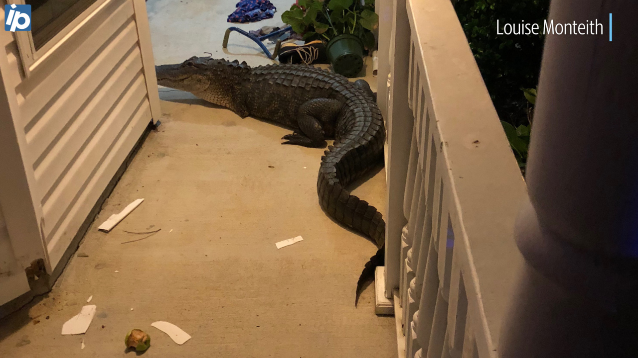 Ticked Off 7 Foot Gator Stuck On Lowcountry Family S