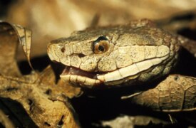 How to identify venomous snakes that live in the Lowcountry