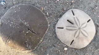 They're not shells? 10 facts about sand dollars — and how killing them could cost you