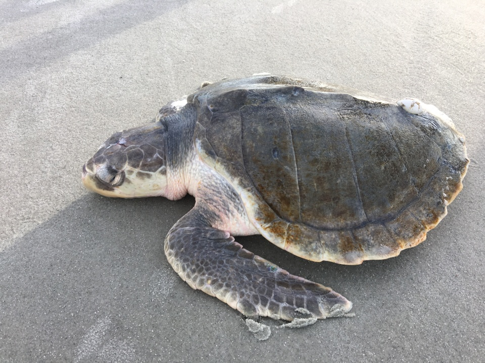 More than 100 cold-stunned turtles wash ashore on Outer Banks amid frigid temperatures