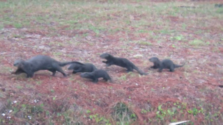 Watch this momma otter lead her stumbling pups across a Lowcountry golf course