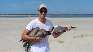 Did a pelican fly from Hilton Head to Oklahoma? An SC researcher wants his tag back