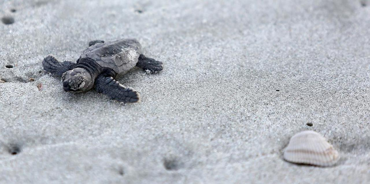 Sea turtle numbers low for second year in a row. Should SC be worried?