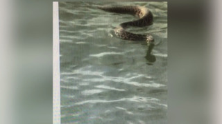 "Monstrous rattlesnake swims to boaters on May River -""Don't let it on the boat. Go, go."""
