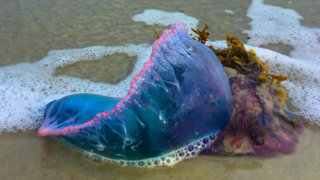 These 'jellyfish on steroids' are pretty but dangerous. Can they show up on the Coast?