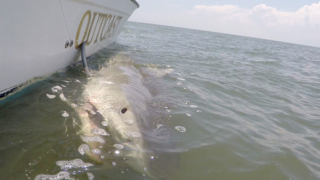 Hilton Head charter reels in 13.5-foot shark, gets a surprise
