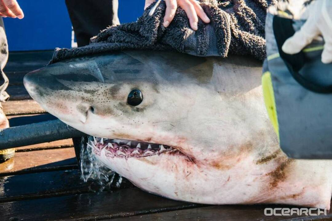 287923a35f7 Great white sharks hanging out along SC coast