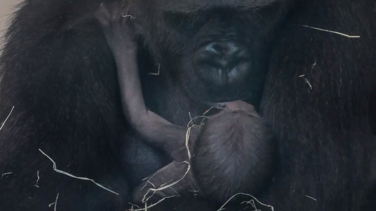 Riverbanks zoo's baby gorilla gets a name