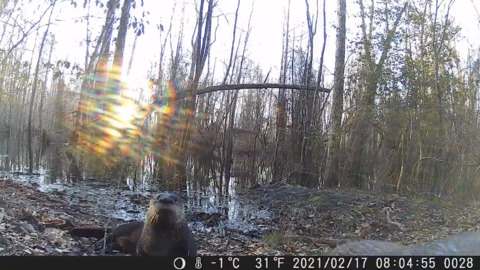 Watch curious otters sniff out a trail camera in South Carolina