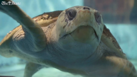 Charleston has a hospital just for sea turtles