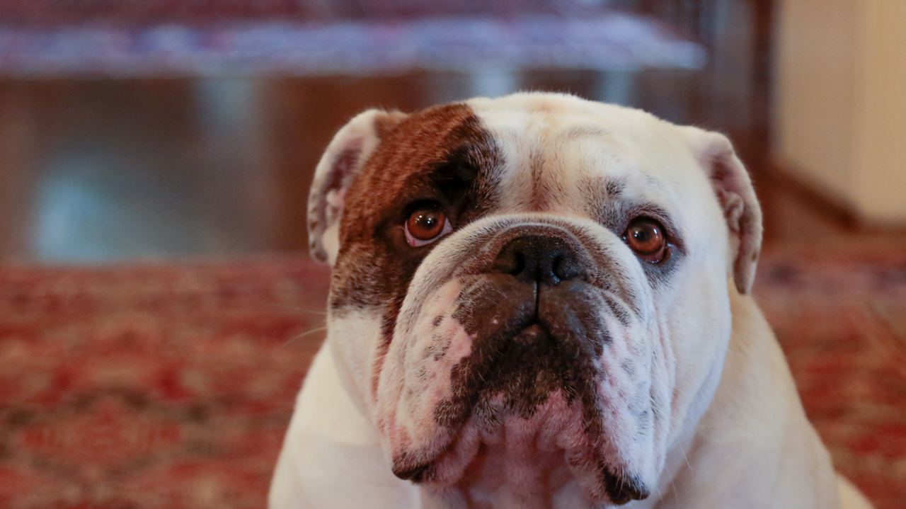 Stolen English bulldog puppy reunited with family, LAPD says | The State