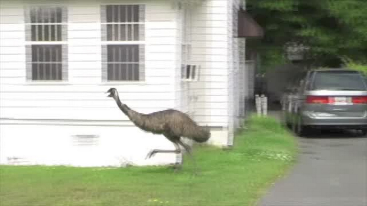 How do you catch an emu? An ex-animal control director shares how it was done before.