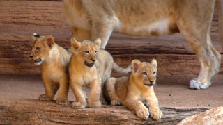 Three's Company! Lion Cubs rip and roar in new home