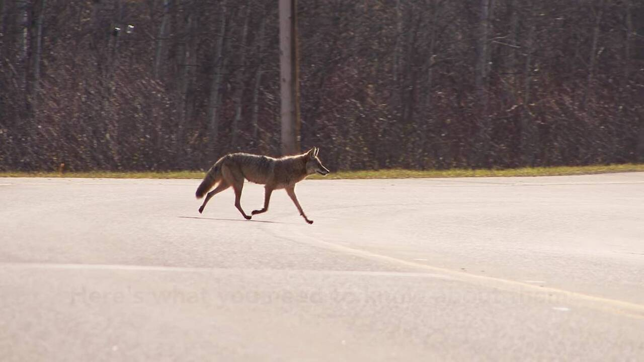 Young coyotes 'wandering' for new territory, NC biologists say. Cats and dogs beware