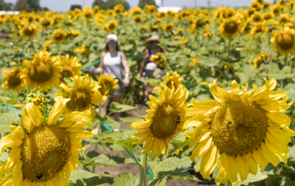 Heat and humidity doesn't deter visitors to Eckert's sunflower maze