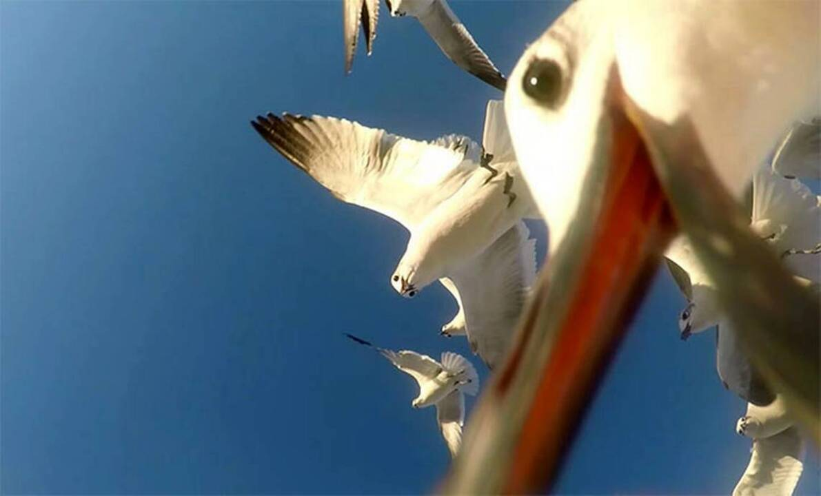 What Do Seagulls Really Eat And Where They Get It Biloxi Sun Herald