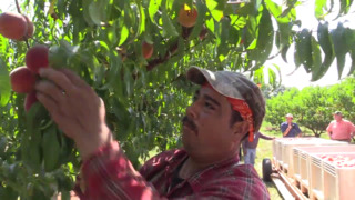 'We really couldn't grow peaches without the program,' grower says