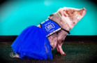 When pigs (help you) fly! Meet Lilou, the first known airport therapy pig