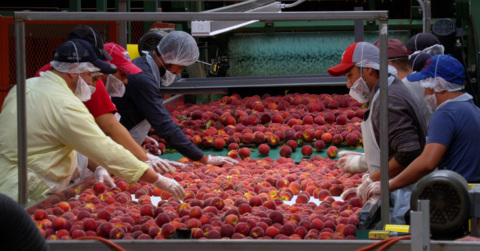 Peach picking now in full swing at Georgia's largest grower
