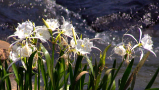 Drone's-eye view: Shoals Spider Lilly bloom on Flat Shoals Creek