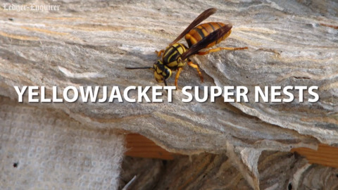 Yellowjacket super nests could make a comeback in Alabama