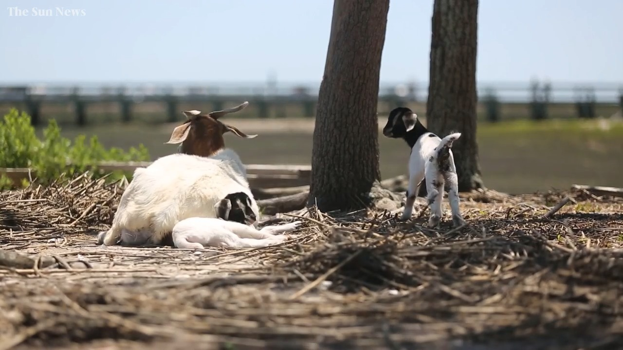 12 Day Old Goat Missing After Farm S Snuggle Event Charlotte Observer