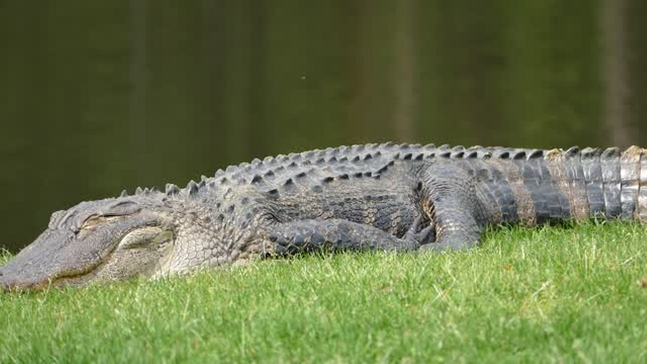 Warm weather prompts early alligator appearances in Myrtle Beach ...