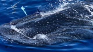 Boater spots whale sharks off Anna Maria Island