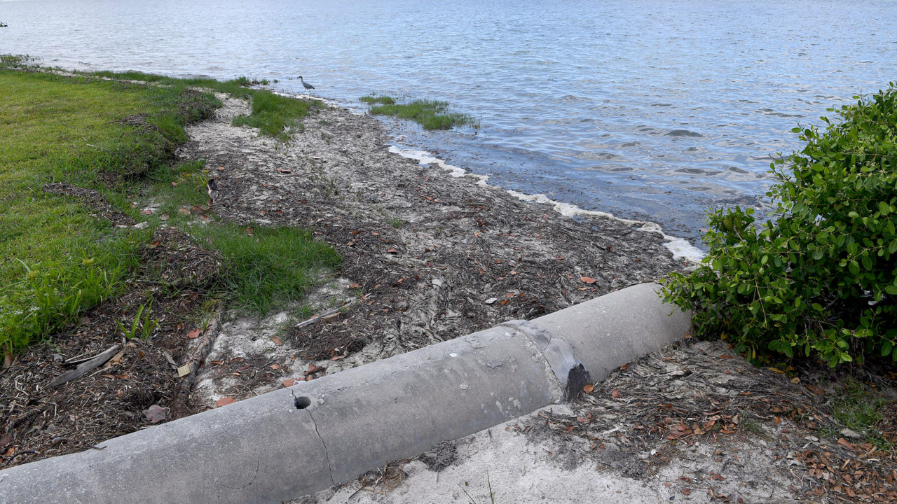 Blue-green algae bloom clogging up Robinson Preserve. The Manatee River has it, too