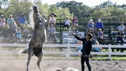 Lipizzan stallions get up in the air