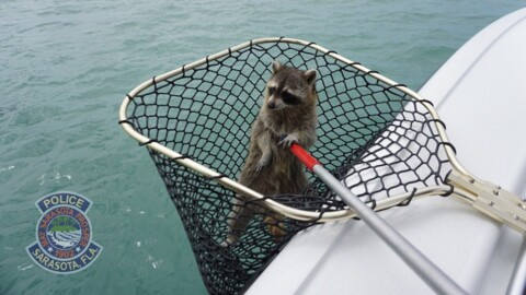 Raccoon stranded at sea rescued by police, wildlife officials