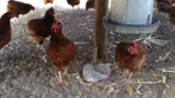 Cackling along at Norwegian Wood: Free range chicken farm opens in East Manatee