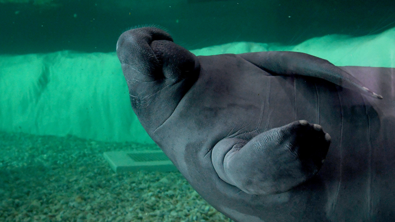 Manatees are moving out of Bishop Museum. Tuesday is your last chance to see them
