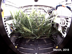 Plants grow on the International Space Station