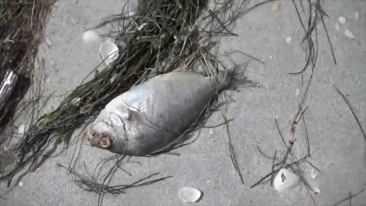 'Red tide' invades Florida, kills marine life, threatens humans. Is SC next?