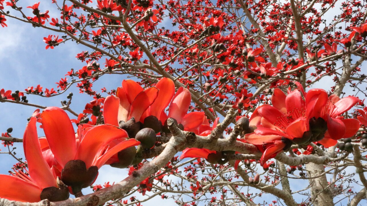 Rare tree blooming spectacularly at Bradenton's Palma Sola park. You can see it for free