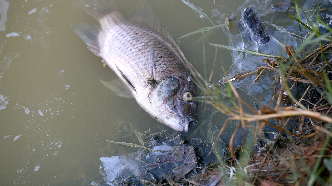 Smelly water and dead fish at Palma Sola Park. The cause is natural, county says